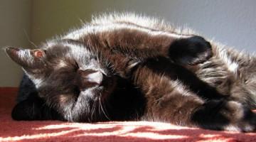 Amputation einer Gliedmaße bei Hauskatzen | © Foto Catplus.de