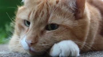 Bachblütentherapie bei Katzen