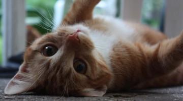Katzenleukose | Foto: Ella Wenzgol