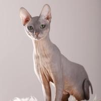 Nacktkatze - Urteil gegen Qualzucht | © Tierfotoagentur.de | R. Richter