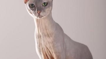 Nacktkatze © Tierfotoagentur.de | R. Richter