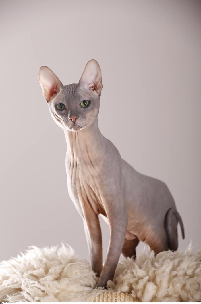 Nackt Katze