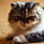 Tollwut bei Katzen | Foto: Kersten Schröder / pixelio.de