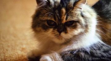 Tollwut bei Katzen