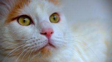 Türkisch Van Katze