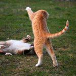 Imponierverhalten bei Katzen
