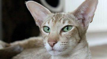 Das Katzengehör