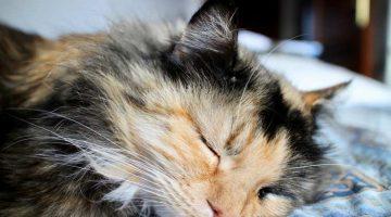 Katzenschnupfen – Wenn die Katze niest und schnieft