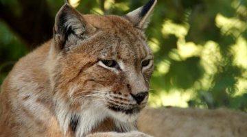 Der Luchs erobert unsere Wälder zurück
