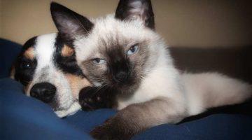 Flohspeichelallergie bei Katzen