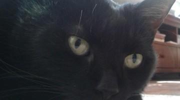 Herzerkrankungen bei Katzen
