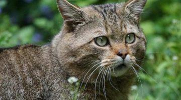 Wildkatzen sind vom Aussterben bedroht
