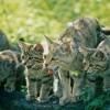 Der Wildkatze auf der Spur