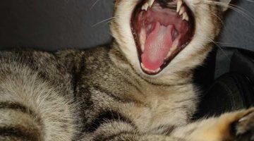 Zahnerkrankungen bei Katzen